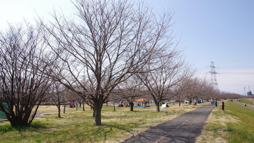 桜開花速報(稲城北緑地公園)2019/03/17