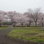 お花見 スポットとして多摩川土手沿いにある 稲城北緑地公園 が 桜 がきれいで開放感があり、かなり良い!と言う話